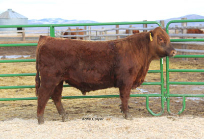 Feddes Red Angus Cattle