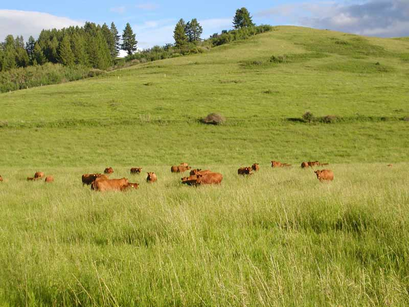 Red Angus Cattle Feddes Red Angus